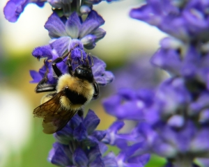 bumble bee on purple flower